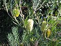 Banksia marginata (16057574855).jpg