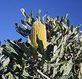 Banksia menziesii yellow2 Cataby email.jpg