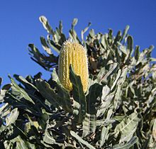 A yellow flower spike emerges above foliage against the blue sky background.