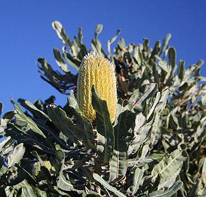 Banksia menziesii - Image: Banksia menziesii yellow 2 Cataby email