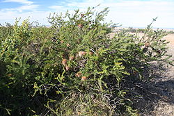 An untidy-looking shrub around 1.5 m high in shrubland