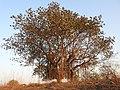 Banyan Tree Ficus benghalensis by Dr. Raju Kasambe DSCN9597 (6).jpg