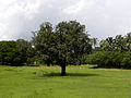 Banyan tree 01.jpg