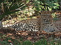 Barcelona-Zoo-Leopardo de Sri Lanka (Panthera pardus kotiya) (II).jpg