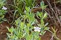 Barleria lanceolata -2456 - Flickr - Ragnhild & Neil Crawford.jpg