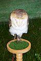 Barn owl, Tyto alba.jpg