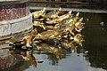 Bassin de Latone le 2 septembre 2015 - 25.jpg