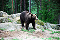 Bear in Kolmården.jpg