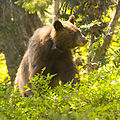 Bear with identification.jpg