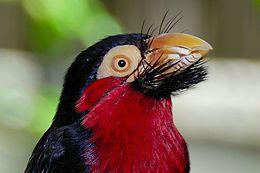 Bearded Barbet Head