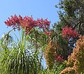 Beaucarnea recurvata - Flickr - Dick Culbert.jpg