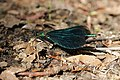 Beautiful Demoiselle - Calopteryx virgo (41484681945).jpg