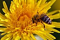Bee On Dandelion (215165881).jpeg