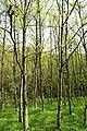 Beech forest - panoramio (1).jpg