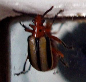 English: A beetle, unknown species Svenska: En...