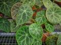 Begonia goegoensis.JPG