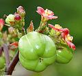 Bellyache Bush (Jatropha gossipifolia) in Hyderabad, AP W IMG 9472.jpg