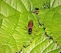 Beris vallata female. Soldierfly (38975731924).jpg