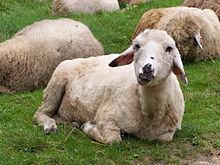 Beskidy - Owca