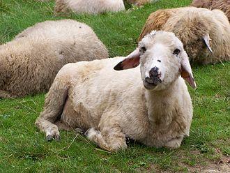 Pesach Sheni - Image: Beskidy Owca