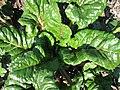 Beta vulgaris var conditiva Різновидність буряка столового із зеленими черешками і пластинками листків.jpg