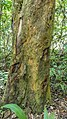 Betadine tree (33174310040).jpg