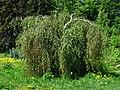 Betula pendula cv. 01.JPG