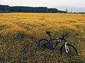 Bicycle among buttercups (Unsplash).jpg