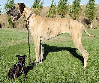 Selective breeding - This Chihuahua mix and Great Dane shows the wide range of dog breed sizes created using selective breeding.