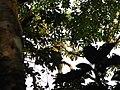 Bird Great Hornbill Buceros bicornis IMG 8659 13.jpg