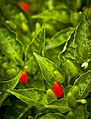 Birds eye chilli.jpg