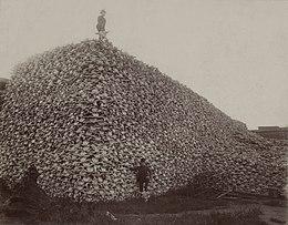 Pile of bison skulls