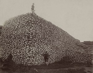 Bison hunting - Photo from the 1870s of a pile of American bison skulls waiting to be ground for fertilizer.