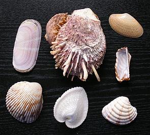 Schalen verschiedener Meeresmuschelarten