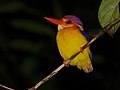 Black-backed Kingfisher (Ceyx erithacus) (8066957489).jpg