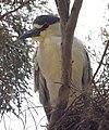 Black-crowned Night Heron (26506228556).jpg
