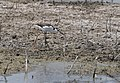 Black-necked Stilts breeding in Sauget IL (fledges) (27370640203).jpg