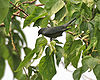 Black-winged Cuckooshrike (Coracina melaschistos) at Jayanti, Duars W Picture 406