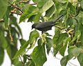 Black-winged Cuckooshrike (Coracina melaschistos) at Jayanti, Duars W Picture 406.jpg