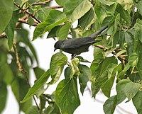 Black-winged Cuckooshrike (Coracina melaschistos) at Jayanti, Duars W Picture 406