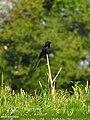 Black Drongo (Dicrurus macrocercus) (15893950675).jpg