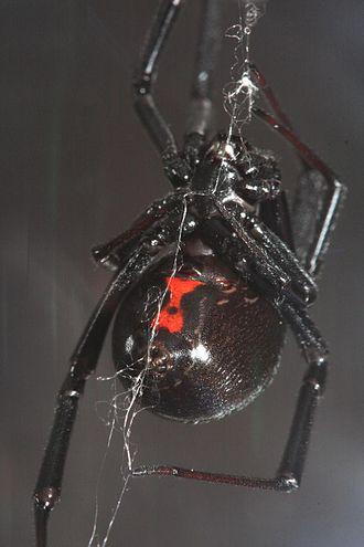 Latrodectus hesperus - Latrodectus hesperus female