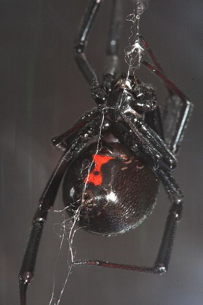 File:Black Widow making web.jpeg