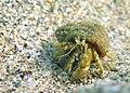 Black sea fauna hermit crab 01.jpg