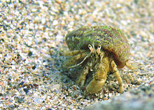 Black sea fauna hermit crab 01.jpg
