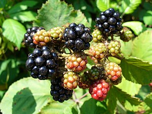 English: Blackberries (Rubus), ripe and unripe...