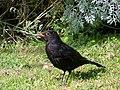 Blackbird (Turdus merula) - geograph.org.uk - 863968.jpg