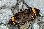 Blackened crescent (Anthanassa otanes fulviplaga).jpg