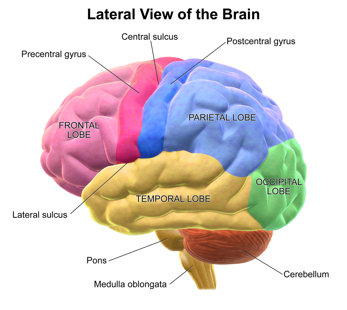 1146px Blausen_0101_Brain_LateralView