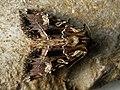 Blepharita amica - Полевая совка северная (41118310981).jpg